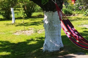 Bielenie pni drzew