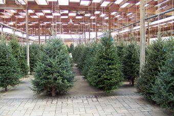 Choinkowy zawrót głowy, czyli jak wybrać świąteczne drzewko