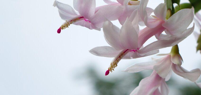 Jak dbać o rośliny, które kwitną w grudniu?
